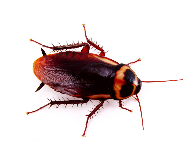 Suggestions On How To Get Rid Of CockRoaches. IStock_5308392Small_Cockroach